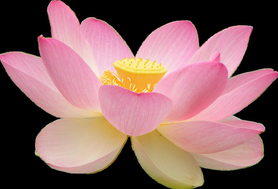 #lotusflower