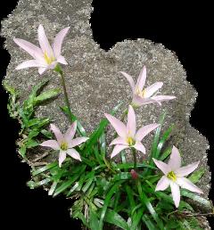 #flowers byliriosbellos fromcostarica withpicsart purelife