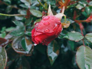 roses 白发戴花君莫笑