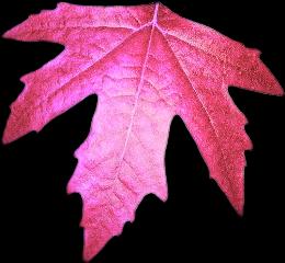 hotpink fucsia leaf leaves deco