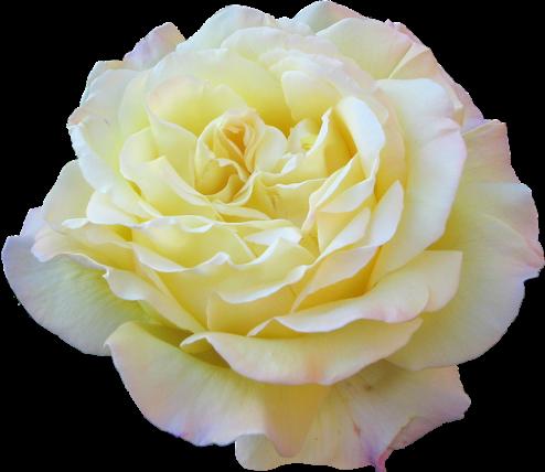 #flower #rosa #yellow