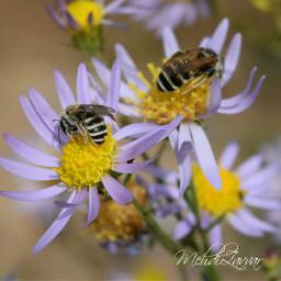 bee_honey bee_flowers garden nature nikond5300