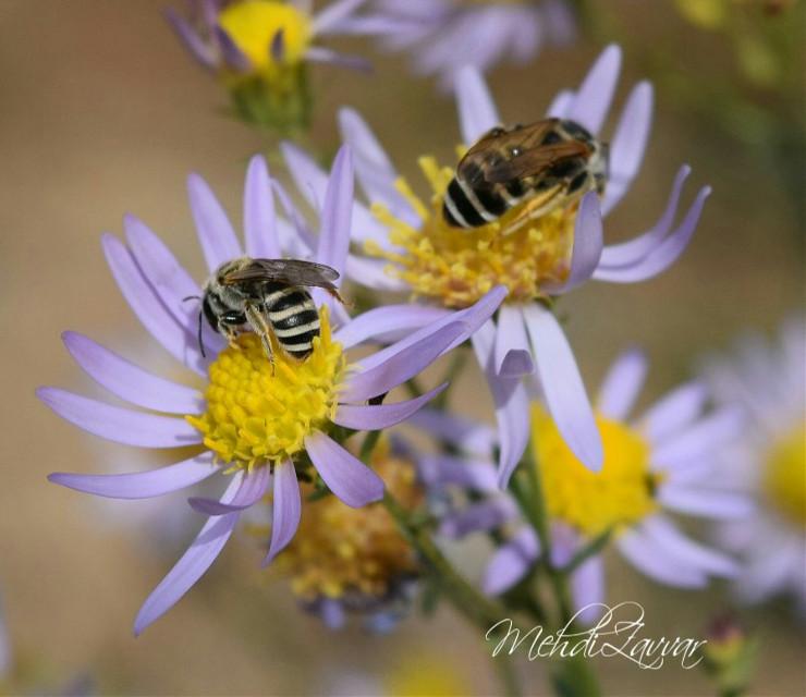 #bee_honey  #bee_flowers  #garden #nature  #nikond5300 ##colorful #photography #picsart #زنبور_عسل🐝 #طبیعت_گردی  #پاییز_نیشابور  #نیکون_d5300