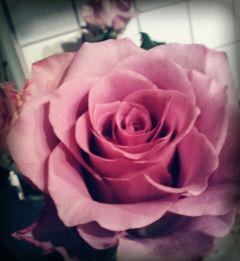 roses pinkroses purpelrose flowers myphotography freetoedit