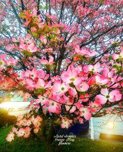 freetoedit aprilshowers treeinbloom bensalempa