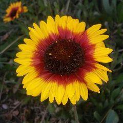 daisyflower flower daisy freetoedit