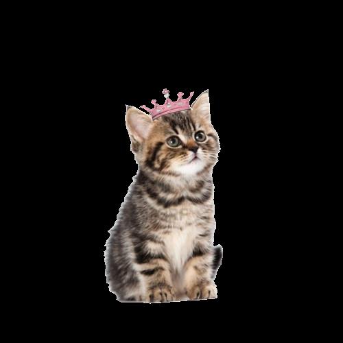 #png #edit#tumblr #overlay ##FreeToEdit #cat