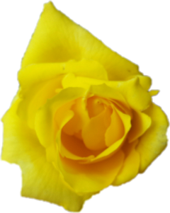 Yellow flowers tumblr sticker by toruu similar stickers mightylinksfo