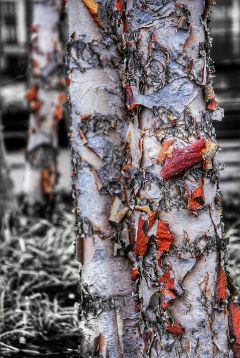 colorsplash nature winter birchtree philadelphia