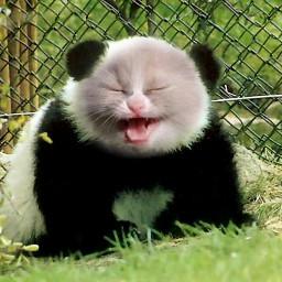 wapanimalhybrid cat panda catpanda animalhybrid