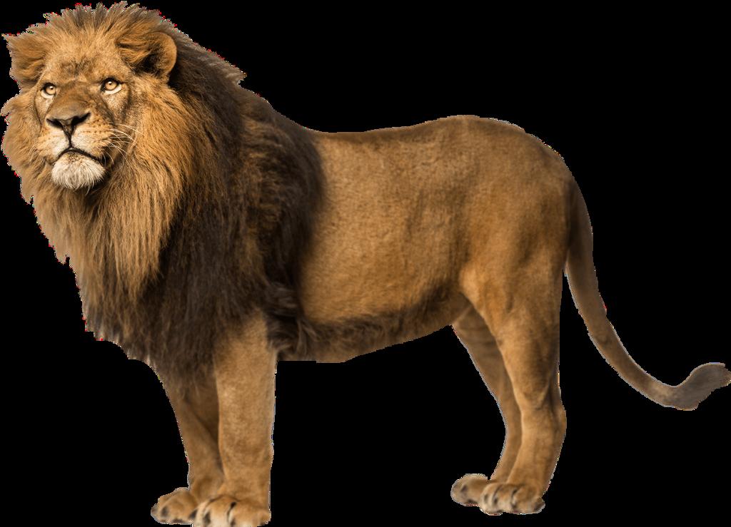 #lion #animal #animals