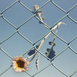 flower stucked wirenetting skybackground mymondaymotivationalquotes