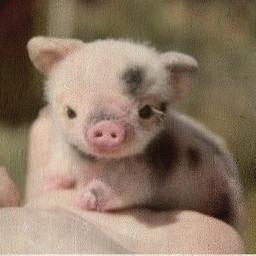 freetoedit coot piggy