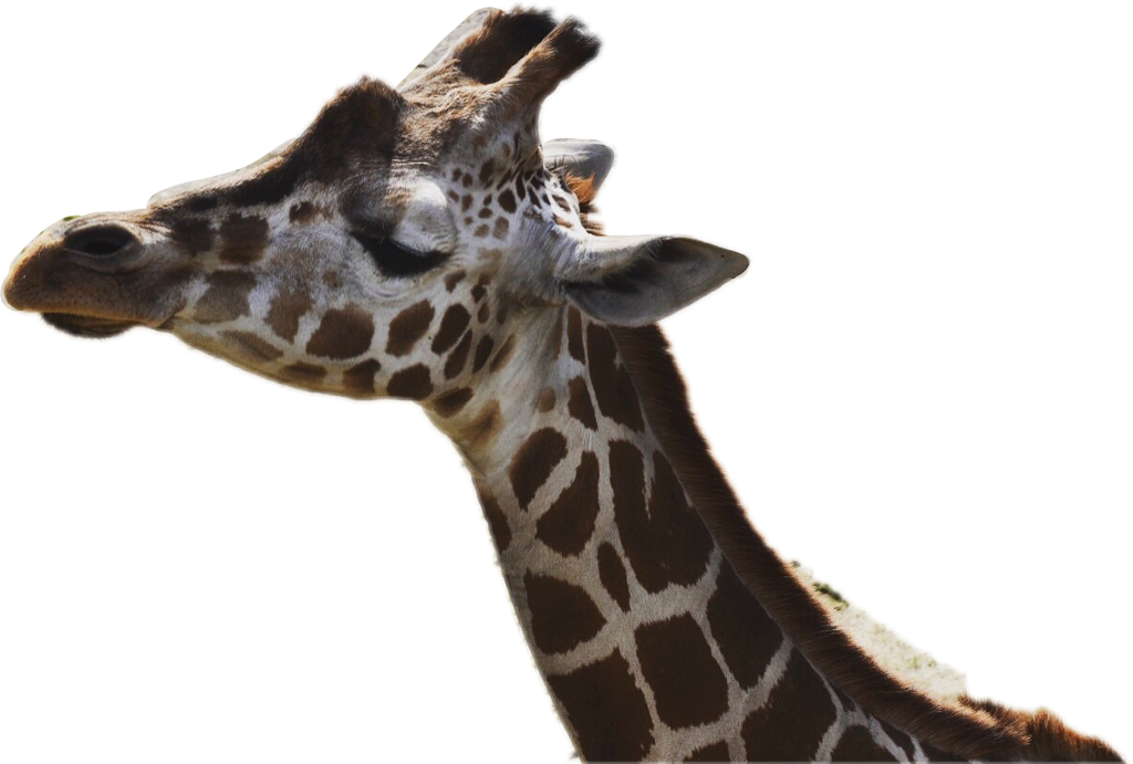 キリン #interesting #giraffe #FreeToEdit