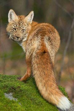 wapanimalhybrid fox nature petsandanimals photography