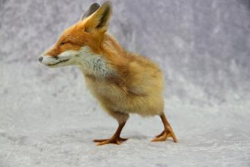 wapanimalhybrid fox nature photography chick