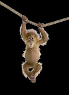 animalstickers babychimp chimpanzee freetoedit