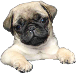 petsandanimals dog pug freetoedit