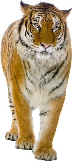 tiger feline bigcat freetoedit