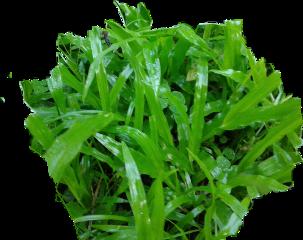 zacate fromcostarica purelife withpicsart byliriosbellos
