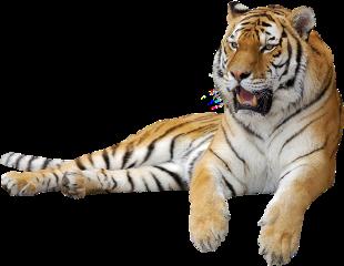 tiger wildlife wild freetoedit