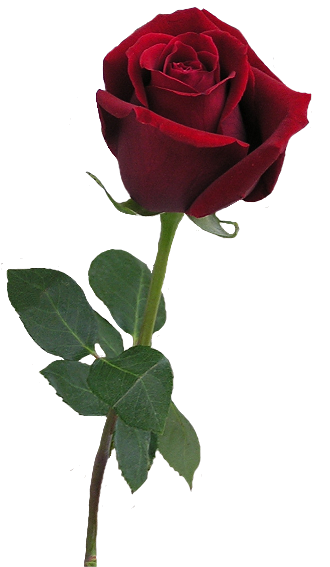 #beautyandthebeast #roses #flower #FreeToEdit