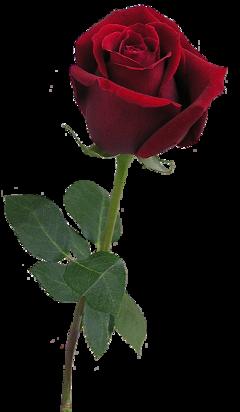 beautyandthebeast roses flower freetoedit