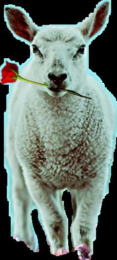 lamb rose freetoedit