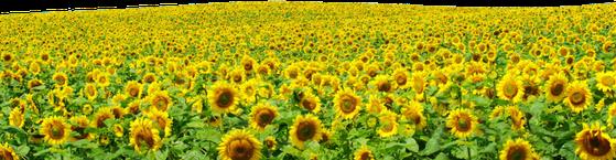 synflowers flowers field wildflowers freetoedit