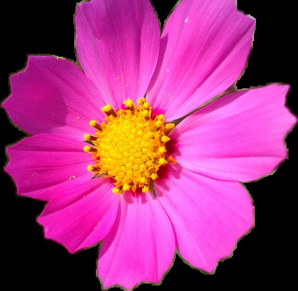 #Flor #Flower #Sunset #Beautiful #Girasol #Silvestre