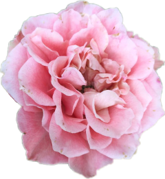 Aesthetic tumblr pink pretty cute flowers peony rose aesthetic tumblr pink pretty cute flowers peony rose mightylinksfo