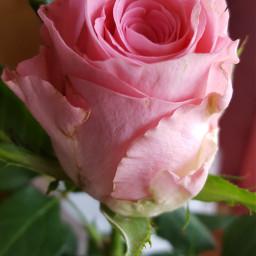 rose pink flower weddinganniversary love