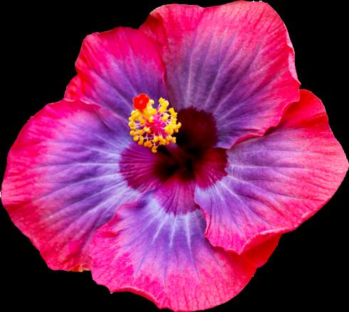 #habiscus #flower #summer #freetoedit