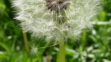 pusteblume dandelion nature nofilter green