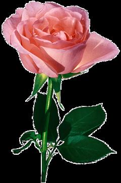 sex beautiful rose roses flowersfollower